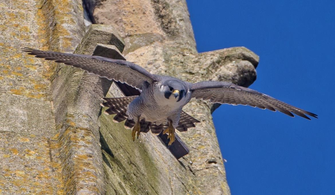 A picture of a Peregrine Falcon at Norwich Cathedral