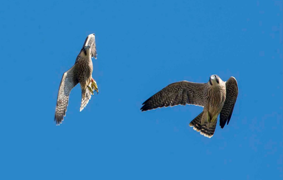 A picture of two falcon flying together